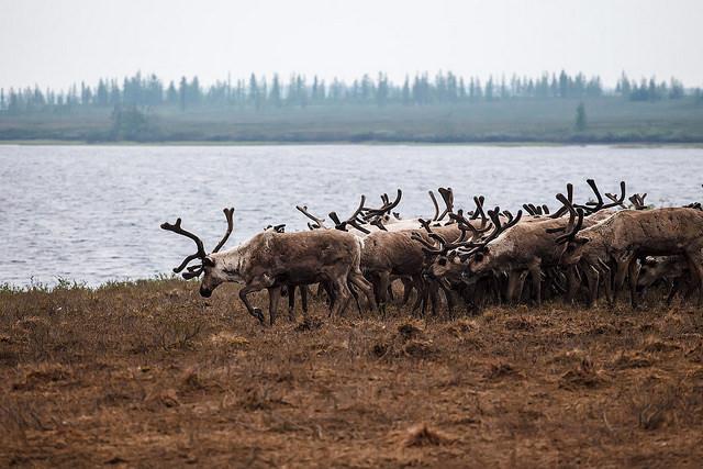 01 - Reindeer in Yamal - credit Aleksandr Popov.jpg