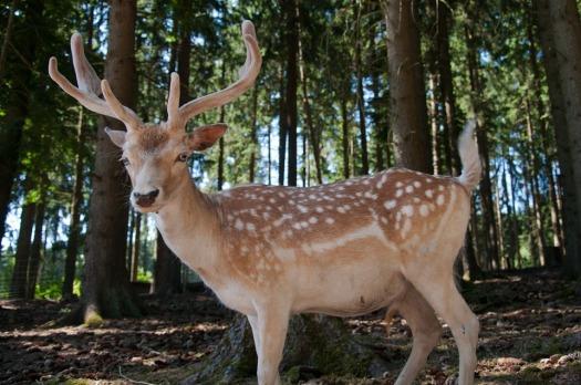 Sika Deer Roe Deer Hirsch Wild Free Deer Red Deer